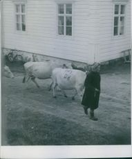 A woman guiding a herd of cows in Finland. 1944.