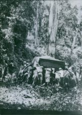 A photo of men pushing a carriage to the forest range during Abyssinian war.