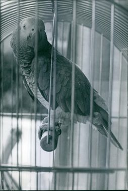 Coco'ami the African grey parrot.parrotCoco parrot in Brussels