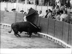 Luis Miguel Dominguín fighting with bull.