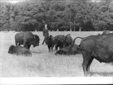 John Ian Robert Russell, 13th Duke of Bedford, photo with the buffalos.