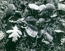 Black and white photo of different leaves on the ground.  Taken - Circa 1967