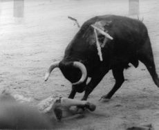 A bull attacks a lady