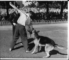 Police demonstrates how a police dog act