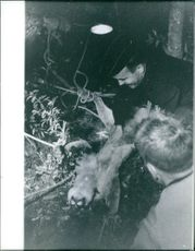 Two men caught a puma and tied it on the ground. October 19, 1962.