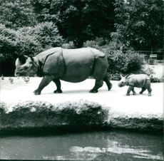 A juvenile rhinoceros trots behind her mother, 1977.