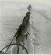 A Swedish volunteer Corp running on the snowy ground with a pack of wolves.