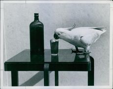 Parrot drinking cold water.