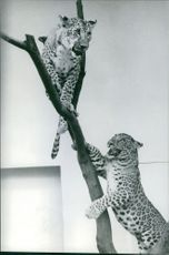 Leopards climbing on tree.