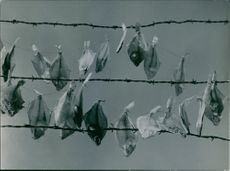 A dried fish hang in the rope, 1948.
