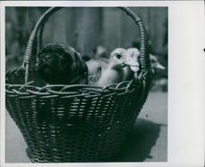 Puppy and ducklings in a basket.