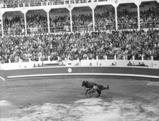 Stadium filled with spectators watching a El Cordobés fighting a bull in the bull ring.  - 1965