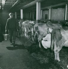 A man walking inside a cow ranch, holding a metal bucket and a stool for cow milking.  Taken - 1948