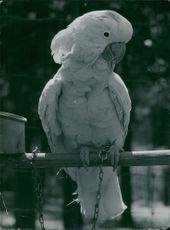 Parrot perching on a wooden stick.
