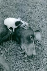 A dog resting and the hamster on top of it. 1964