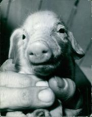 1949 A photo of a face piglet being held by hand.