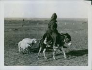 A person riding it's donkey and pulling his sheep.
