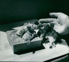 Numerous chicks with human hand.