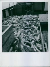 A number of fishes caught and placed on a boat.
