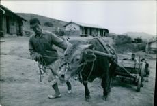Refugee farmers pushing the cow with a cart up the hill.