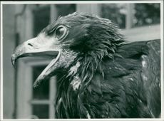A close up of graham dangerfield eagle.
