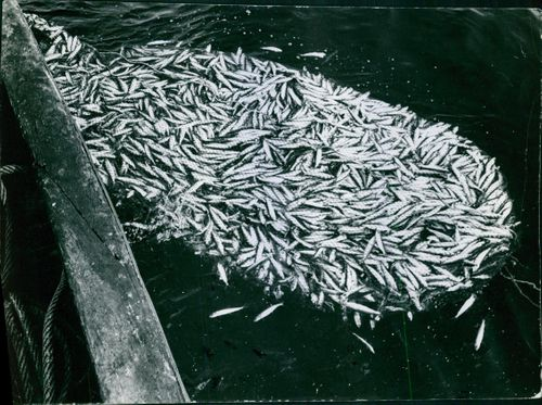 A view of large amount of fishes caught on the fishing net.