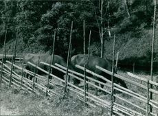 Cows eating grass inside a wooden fence.