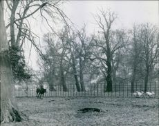 Deer running beside fence and a man riding horse.