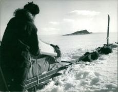Man reading a map, traveking on a sled with sled dogs in Greenland.  - Oct 1962