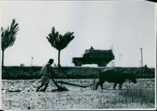 A farmer ploughing the muddy field with his cow in Korea.