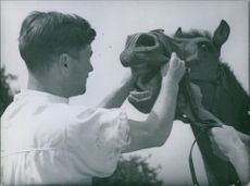 Man holding jaws of a horse and looking inside the mouth. 1945