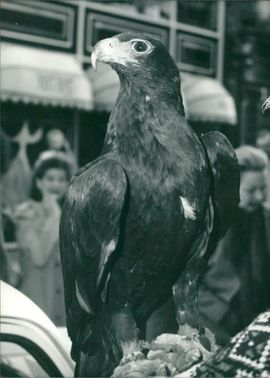 Verreaux Eagle.