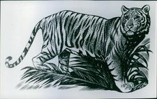 An illustration of a tiger.