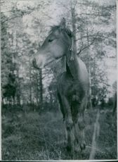 A horse in forest, 1944.