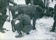 Soldiers milking a  cow in the snow during First World War, 1940.