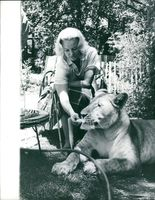 Tame Lion A woman feeding a lion.  Photo taken:May 2, 1963