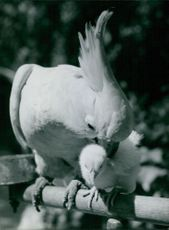 White parrot with juvenile.