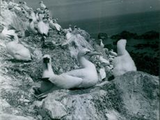 Colony of Gannets in the cliff, 1968.