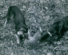 The two dogs resume the completion of the raccoon as its struggles get weaker and weaker.