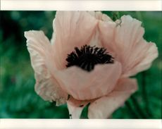 Close up of a withering pink colored flower.