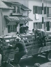3 men positioning their sheep on a carriage for transferring.