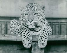 Leopard relaxing.