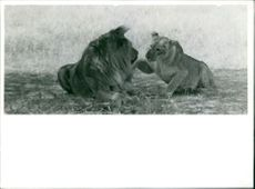 Lion and lioness sitting together.