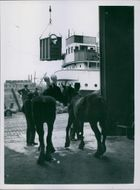 Two horse silhouetted in the doorway as one of their number is hoisted abroad, they are shipped to Poland, from Belfast. UNRRA helps European agriculture. Livestock shipped to Poland. 1945