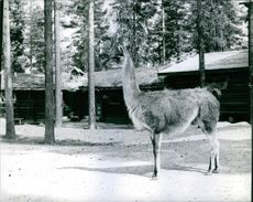 Llama standing and looking away in the forest.