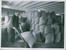 Finnish-Russian war 1939-40  A man in Finland continue his labor of hauling sacks of pebbles inside a stock room during wartime.