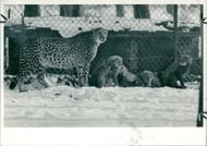 Animal: Cheetah. Suzie and her cubs