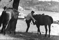 A very slight breeze cools the police horses on the island of Djurgården in the heatwave.