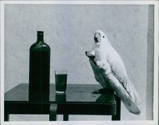 A white cackatoo carrying a cap of bottle.