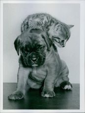 Year ? A photo of  pussycat on the back of a German shepherd puppy siting together.